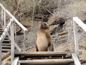 sea lion at top of stairs, Galapagos, sea lion